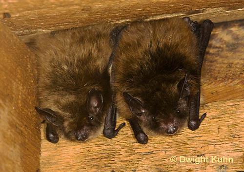 MA20-516z  Little Brown Bats, Myotis lucifugus