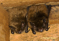 MA20-516z  Little Brown Bats, Myotis lucifugus