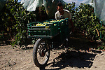 Foreign workers, most of them Albanians and Romanians, collect the grapes from the fields. The area of Nemea. in Peloponnese, has a unique wine tradition, from ancient times and the memorable wine of Fliasion to the exquisite Aghiorghitiko, the Greek wine that has won the admiration of wine lovers around the world.