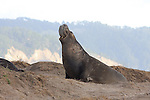 elephant seal bull trumpeting