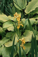 Hosta 'Piedmont Gold' with Iris pseudacorus (Yellow Flag Iris) in bloom showing yellow colour combinations