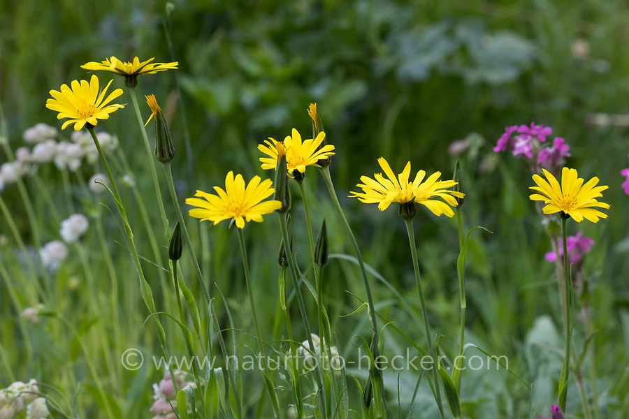 Wiesen-Bocksbart, Wiesenbocksbart, Bocksbart, Tragopogon pratensis, Meadow Salsify, Showy Goat's-beard, Meadow Goat's-beard, Jack-go-to-bed-at-noon, Le salsifis des prés