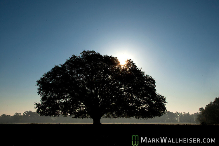 A live oak tree in a Wakulla County, FL field. A photo of the sun rising through an old live oak tree in a Wakulla County, Florida field.