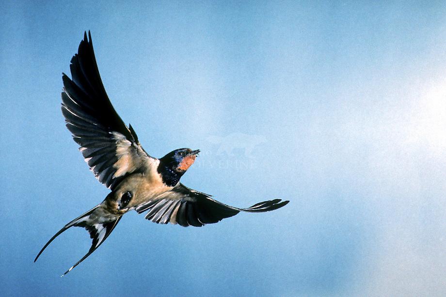 Boerenzwaluw (Hirundo rustica)