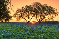 We capture this sunrise glow over a field of bluebonnets through the mesquite tree . You can see the sunset is just coming up over the horizon through the two mesquite trees in this landscape.  This was a nice field of wildflowers in the texas hill country. The Texas bluebonnet or lupine was declare a state flower in 1971 by the Texas legislature.  Also Lady Bird Johnson help in her push to create the Highway beautification Act which is how wildflowers in Texas took root. We can thank Lady Bird for these beautiful spring wildflowers that are across our highways and park and where ever they may be.