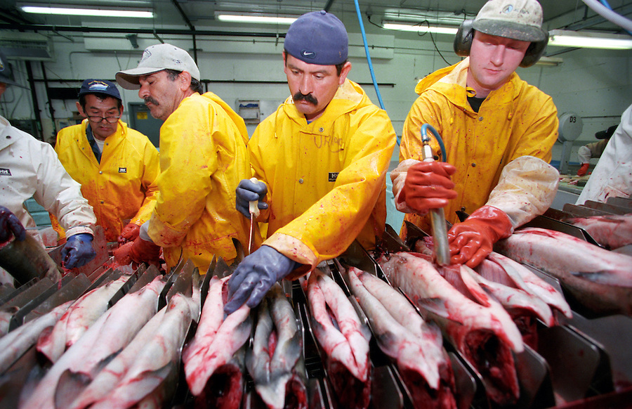 Workers clean fish on the 'slime line' at a salmon processing plant in St. Petersburg, Alaska in the summer of 2001.
