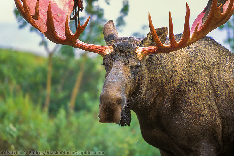Bull moose, Denali National Park, Alaska