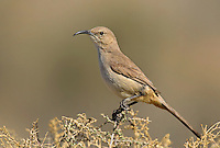 581970008 a wild lecontes thrasher toxostoma lecontei perches on a desert plant in kern county california united states