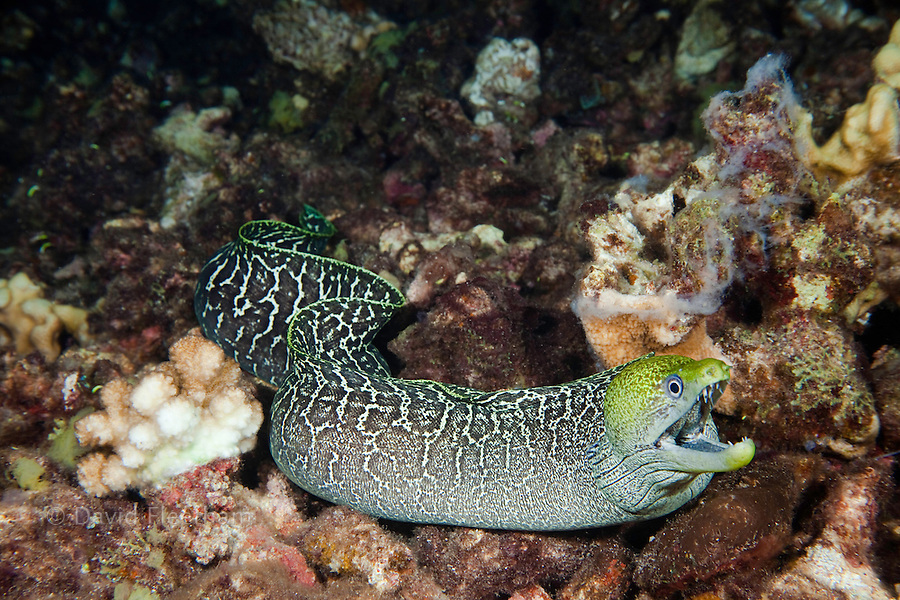 Undulated moray eel,  Gymnothorax meleagris, free swimming over the reef at night.  Hawaii.