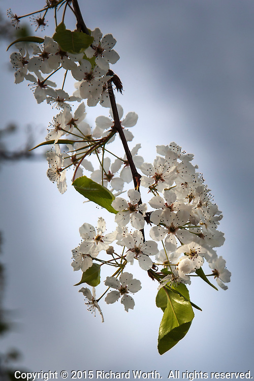 A tree at a neighborhood park is starting to blossom - small, delicate flowers with white petals and maroon tipped stamen.