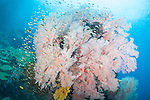 Misool, Raja Ampat, Indonesia; Daram area, a school of Regal Demoiselle fish swimming around a large pink gorgonian sea fan