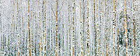 Panorama of snow decorating the bark of birch trees in the winter boreal forest in Fairbanks, Alaska