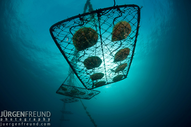 Jewelmer Pearlfarm, after cleaning oyster cages are returned back to the ocean