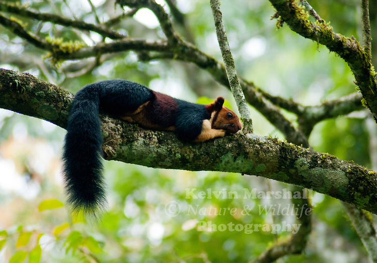 The Indian giant squirrel, or Malabar giant squirrel, (Ratufa indica) is a large tree squirrel species genus Ratufa native to India. It is a large-bodied diurnal, arboreal, and herbivorous squirrel found in South Asia