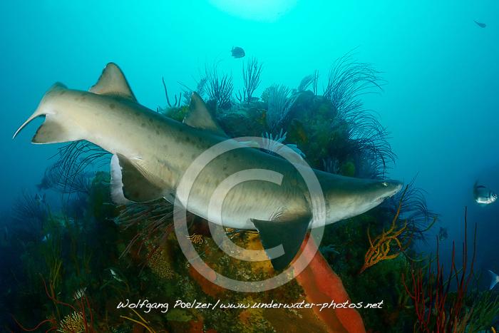 Carcharias taurus, Sandtigerhai,  Gray Nurse Shark, Sand tiger shark or Raggedthoothed Shark, Porth Elizabeth, Suedafrika, Indischer Ocean, Algoa Bay, South Africa, Porth Elisabeth, Indian Ocean
