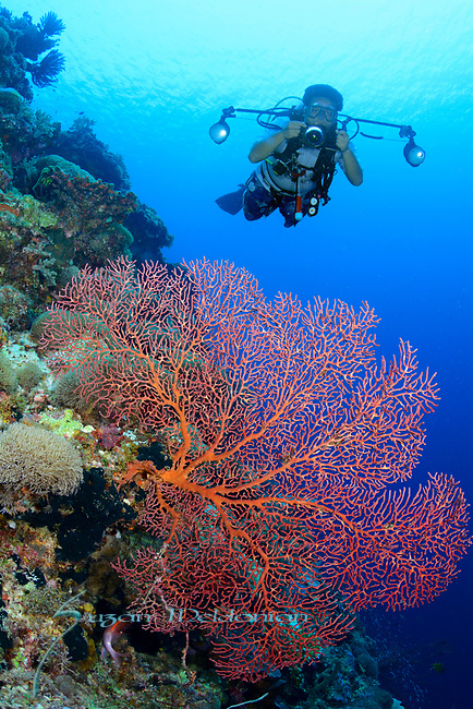 Red Sea fan with uw photographer , Larantuka, eastern end of Flores Island, East Nusa Tenggara, Indonesia. ,