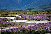 Purple lupin flowers cover the shingle banks of  the Ahuriri river near Omarama, Waitaki District, Canterbury, South Island, New Zealand.