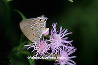 03200-00102 Mallow Scrub-Hairstreak butterfly (Strymon columella) on Crucita Mistflower (Eupatorium odoratum), Hidalgo Co. TX