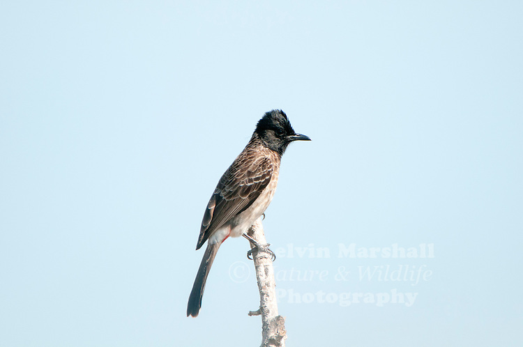 Red-vented bulbul (Pycnonotus cafer) is a member of the bulbul family of passerines. It is resident breeder across the Indian subcontinent, including Sri Lanka extending east to Burma and parts of Tibet. Bundala National Park - Sri Lanka.
