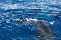 Pilot whale, Globicephala macrorynchus, A pilot whale mother and her dead calf. Canary Islands, Spain, Atlantic
