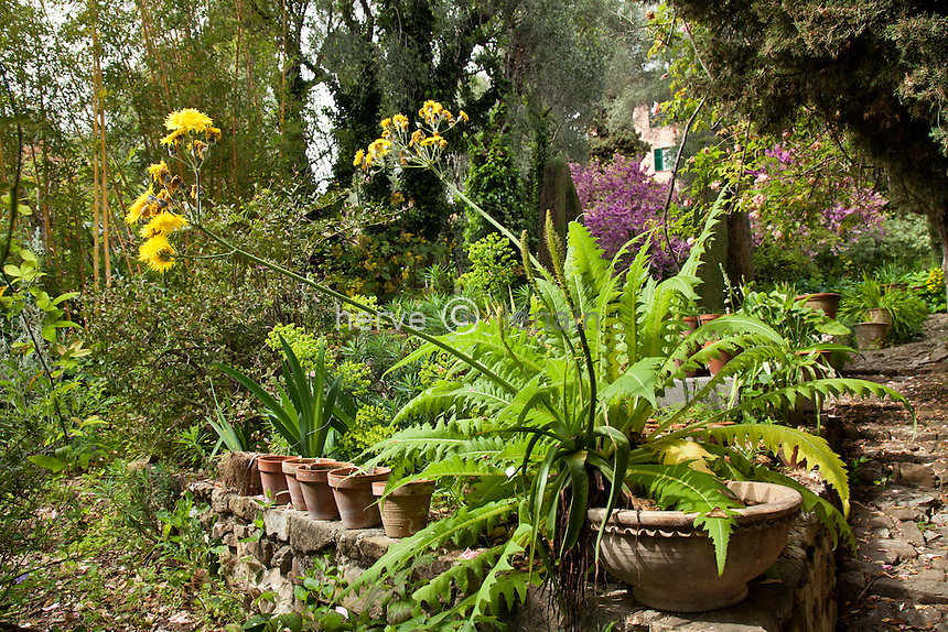 France, Alpes-Maritimes (06), Menton, le Clos du Peyronnet : un grand laiteron (Sonchus fruticosus) de Madère, laiteron arborescent) devant la collection de plantes bulbeuses en pots. Mention obligatoire du nom du jardin & utilisation presse et livre uniquement, accord préalable pour autre usage // France, Alpes-Maritimes, Menton, le Clos du Peyronnet : Giant Sow Thistle, (Sonchus fruticosus) from Madeira near the collection of bulbous plants in pots. Obligatory mention of the garden's name. Only use for press and books, other use require the prior agrees of the owner.