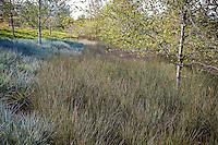 Juncus polyanthemos rush groundcover with grass wild rye in urban park landscape design lawn substitute meadow garden, Jeffrey Open Space, Irvine California