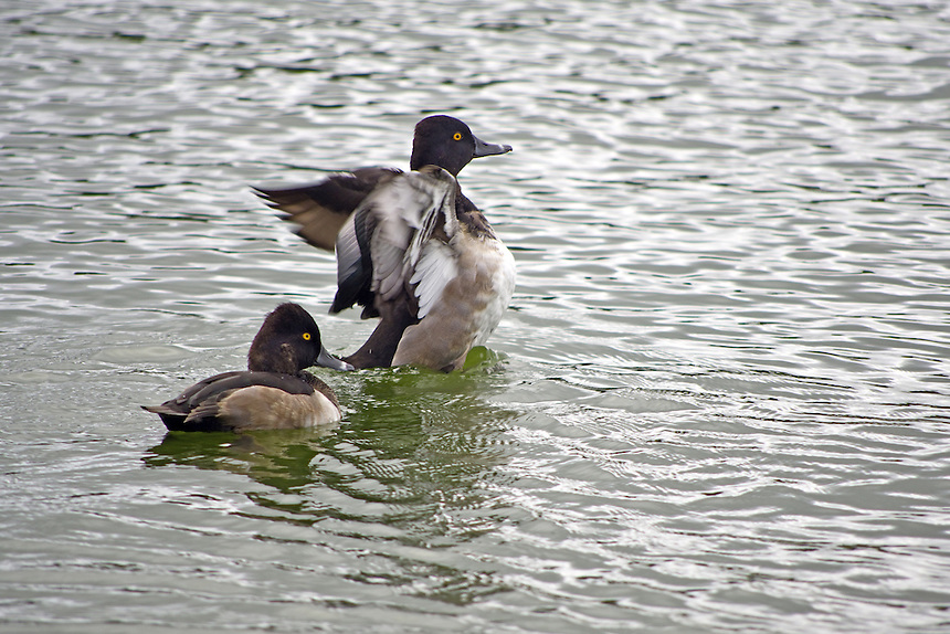 Ring-necked ducks, Morton Lake, Lakeland, Florida