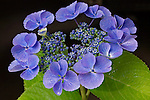 Vashon Island, WA<br /> Detail of a Hydrangea serrata, Blue Bird blossom