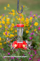 01162-12618 Ruby-throated Hummingbirds (Archilochus colubris) at feeder near flower garden,  Marion Co.  IL