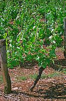 Domaine des Terres Dorees, Beaujolais, a chardonnay vine