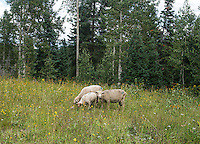 Sheep along Highway 8 in Routt National Forest, Colorado, Thursday, August 13, 2015.<br /> <br /> Photo by Matt Nager