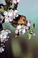 Hazelmuis (Muscardinus avellanarius) tussen de appelbloesem