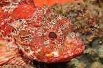 A Scorpionfish (Scorpaena cardinalis) at Astrolabe Reef, Bay of Plenty.