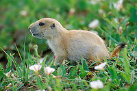 Very young Black-tailed Prairie Dog (Cynomys ludovicianus) among morning-glory wildflowers.