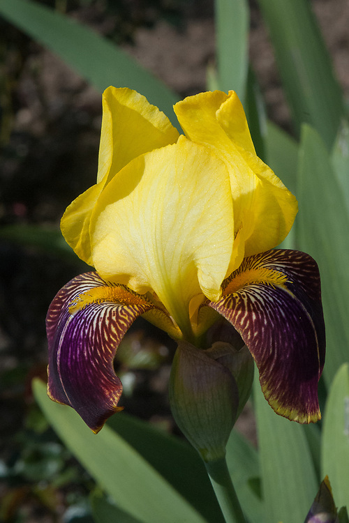 Iris 'Rajah', mid May. A tall bearded iris that has yellow flowers with dark burgundy falls topped by bright yellow standards in May and June.
