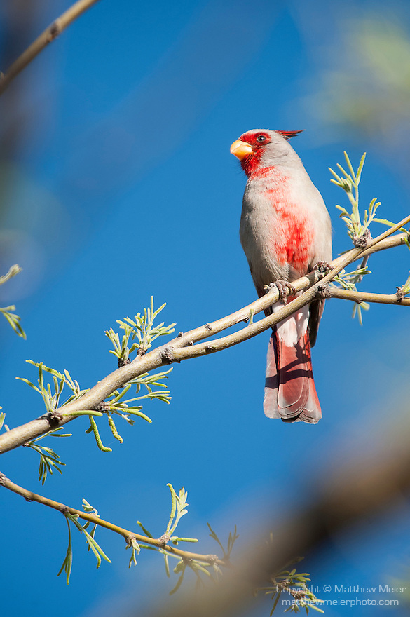 Tucson, Arizona; a male Desert Cardinal (Cardinalis sinuatus) bird, also known as a Pyrrhuloxia, singing while perched on a tree branch