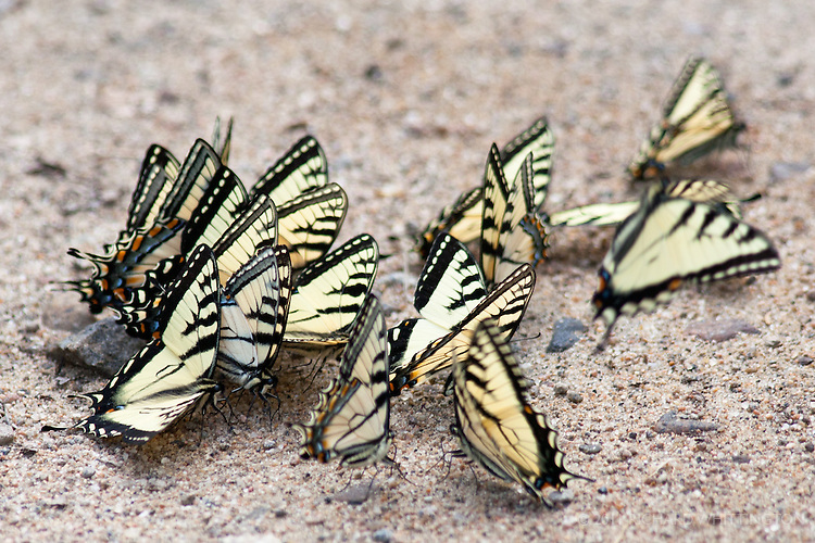 Puddling male Eastern Tiger Swallowtail butterflies.