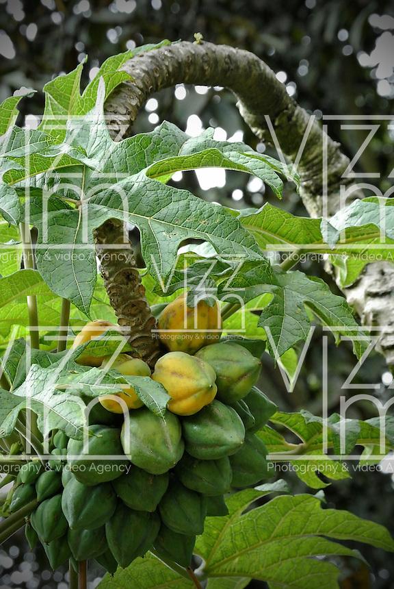 Arbol de papayuela tree papayuela jard n bot nico for Arboles nativos de colombia jardin botanico