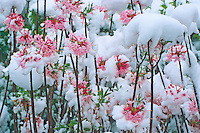 Snow-covered  azelea flowers, New Jersey