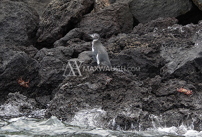 Galapagos penguins are the northernmost penguin species in the world, and yet another endemic species found in the archipelago.