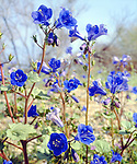 USA; California; Desert Bell or Phacelia Wildflowers in Joshua Tree National Park