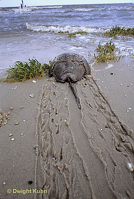 1Y47-013x  Horseshoe Crab - returning to ocean after mating - Limulus polyphemus