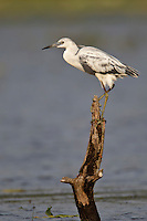 Little Blue Heron - Egretta caerulea - Immature