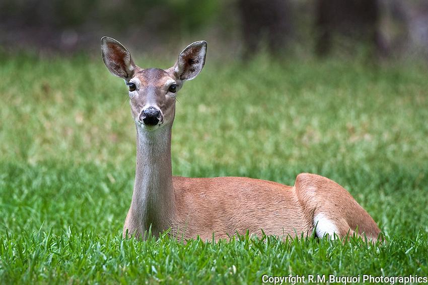 White-tailed Deer Doe Lying down
