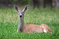 White-tailed Deer Doe Lying down