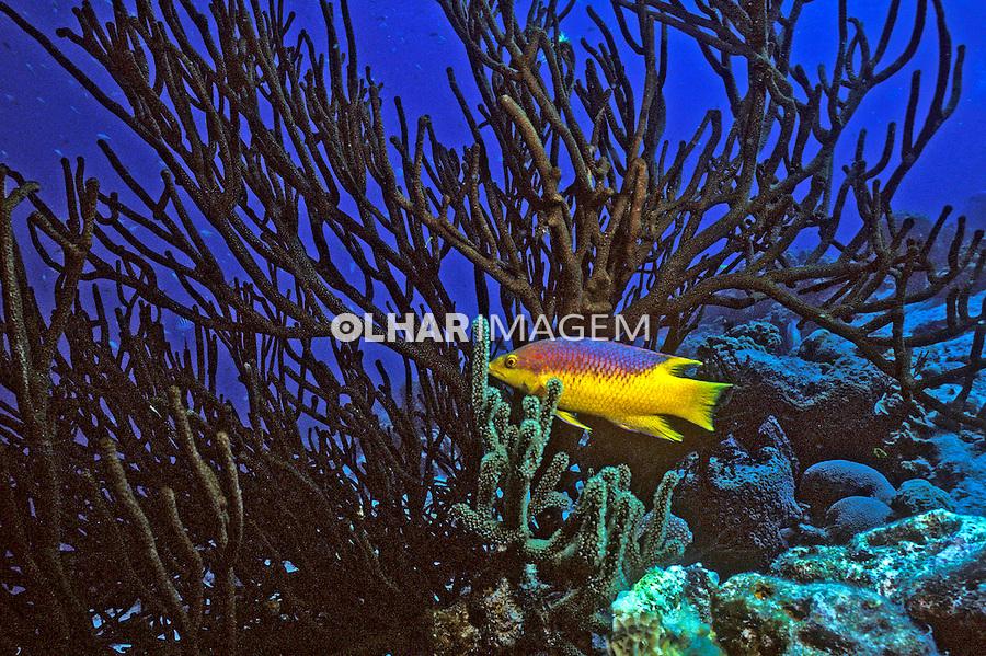Peixe Budião ( Bodianus rufus) em Bonaire, Caribe. Foto de Maristela Colucci.