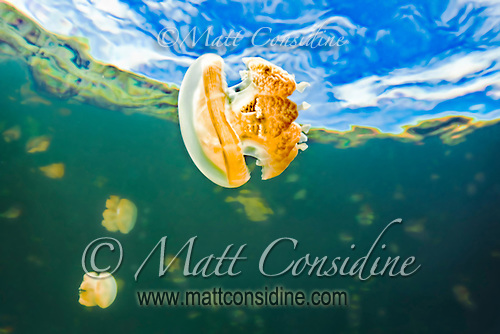 A stingless jellyfish  suspended in space.  The surrounding trees are visible through the water. The stingless jellyfish evolved over millions of years inside the protected lake, Palau Micronesia. (Photo by Matt Considine - Images of Asia Collection) (Matt Considine)
