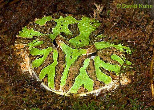 """1216-07ss  Ornate Horned Frog - Ceratophrys ornata """"Brazil"""" - © David Kuhn/Dwight Kuhn Photography."""