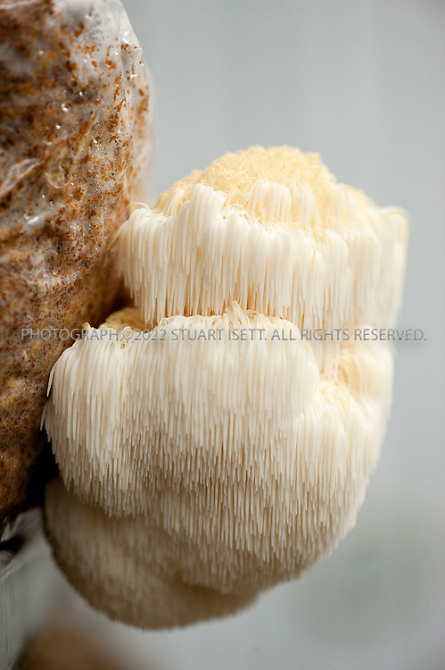 4/6/2010--Shelton, WA, USA..Lion's Mane (Hericium erinaceus)..Paul Stamets, 54, is an American mycologist, author, and advocate of bioremediation and medicinal mushrooms and owner of Fungi Perfecti, a family run business that specializes in making gourmet and medicinal mushrooms...©2010 Stuart Isett. All rights reserved.
