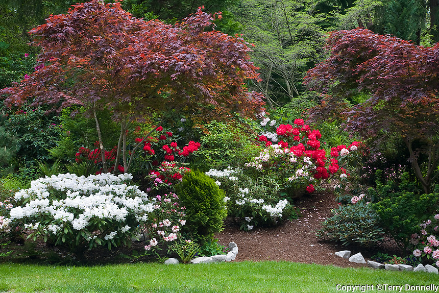 Vashon Island, WA<br /> Path leading into a Pacific Northwest forest garden featuring flowering rhododendron and maples